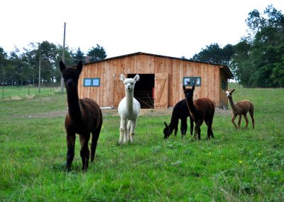 Unsere Alpakas vor Ihrem Stall