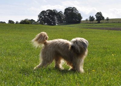 Schafpudel Uschi beim Spaziergang